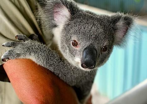 notizie animali, notizie divertenti, notizie strane, notizie commoventi, koala, sialosi, salivazione eccessiva, raggi X, radioterapia