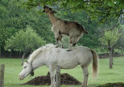 pony_capra1.jpg