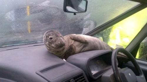 notizie animali, notizie divertenti, notizie strane, notizie commoventi, foche, foche salvate, Ente Protezione Animali