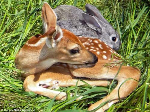 notizie animali, notizie divertenti, notizie strane, notizie commoventi, cerbiatto, coniglio, pastore tedesco, gatti, Bambi, Tamburino, Walt Disney, animali salvati, cerbiatto salvato
