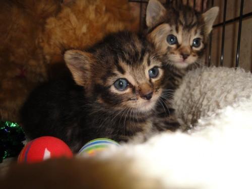 notizie animali, notizie divertenti, notizie strane, notizie commoventi, labrador, gatti, cuccioli di gatto, gattini salvati, cane salva gattini