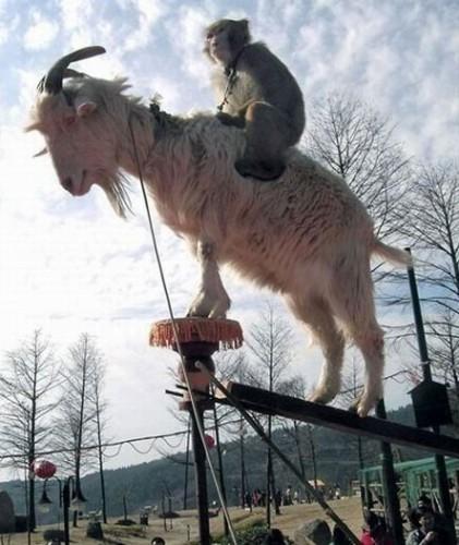 notizie animali, notizie divertenti, notizie strane, notizie commoventi, capre, scimmie, scimmia cavalca capra, animali del circo