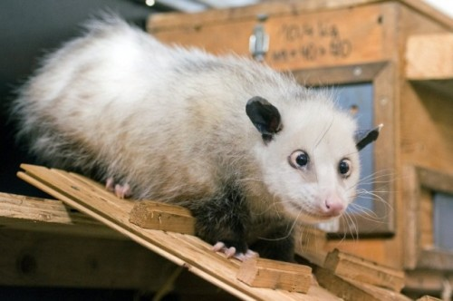 opossum_strabico2.jpg