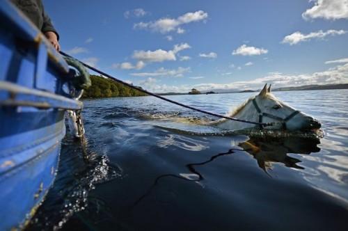 notizie animali,notizie commoventi,notizie divertenti,notizie strane, Inchtavannach Island,Loch Lomond,cavalli,cavalli e acqua,cavalli e nuoto,giumente