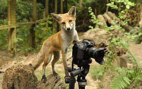 notizie animali, notizie divertenti, notizie strane, notizie commoventi, volpi, fotografi, fotografie, servizi fotografici di animali, foto di volpi, lupi, wallaby, cervi, lontre