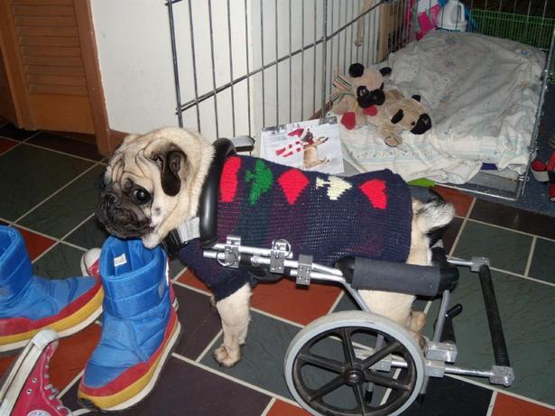cammina di nuovo il cane disabile a cui era stata rubata On sedia a rotelle cane