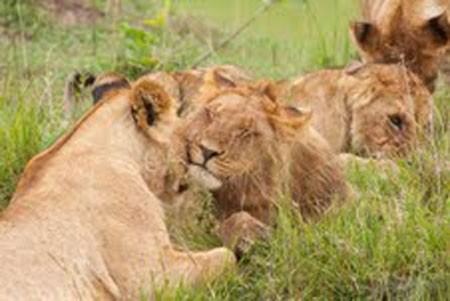 notizie animali, notizie divertenti, notizie strane, notizie commoventi, grandi felini, leoni, leonesse, leonesse in calore, leonesse ninfomani