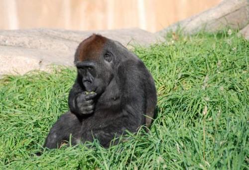 notizie animali, notizie divertenti, notizie strane, notizie commoventi, scimmie, gorilla, primati, gorilla ballerino, scimmie ballerine