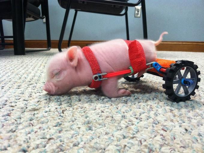 Un maialino disabile ha una sedia a rotelle in miniatura for Sedia a rotelle ruote piccole