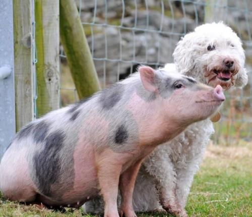 notizie animali, notizie divertenti, notizie strane, notizie commoventi, maiali, cani, percorso aa ostacoli cani, gare di abilità cani