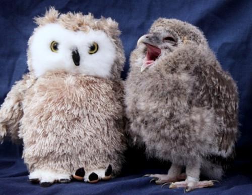 notizie animali, notizie divertenti, notizie strane, notizie commoventi, uccelli, gufi, pulcini di gufo, baby gufo, animali di peluche, uccelli di peluche