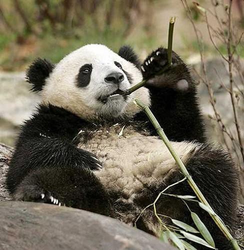 panda_dieta1.jpg