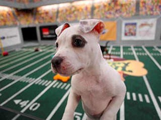 notizie animali, puppy bowl, cuccioli del puppy bowl, animal planet