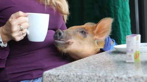 notizie animali, notizie divertenti, notizie strane, notizie commoventi, maialini, porcellini, maiali domestici, spiaggia, campagna, fattoria