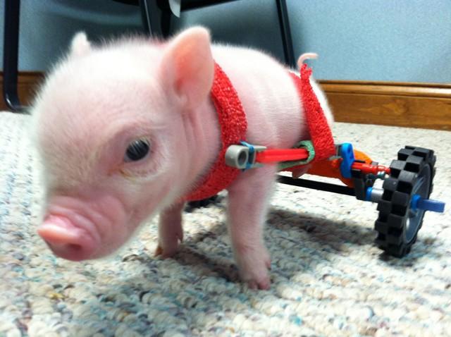 Eccezionale Un maialino disabile ha una sedia a rotelle in miniatura | L  WZ52