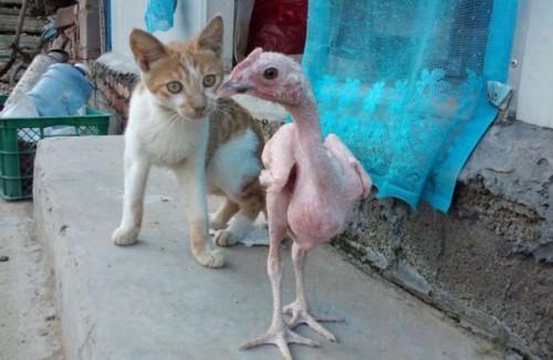 notizie animali, notizie divertenti, notizie strane, notizie commoventi, polli, galline, pollo glabro, pollo pelato, pollo calvo