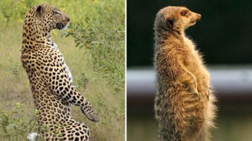 leopardo_meerkat3.jpg