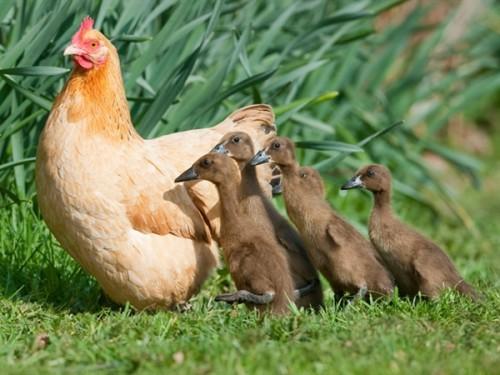 anatre,anatroccoli,chiocce,gallina dotta anatroccoli,galline,notizie animali,notizie commoventi,notizie divertenti,notizie strane,pulcini