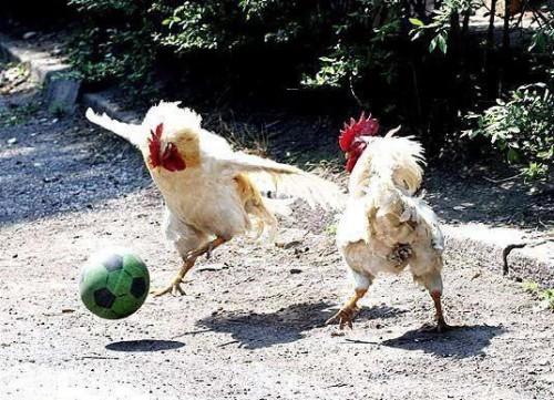 galli_calcio2.jpg