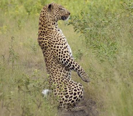 leopardo_meerkat1.jpg