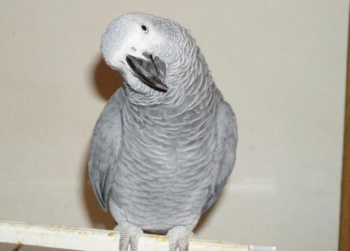 notizie animali, notizie divertenti, notizie strane, notizie commoventi, pappaggalli, African gray parrot, uccelli innamorati, vomito di uccelli