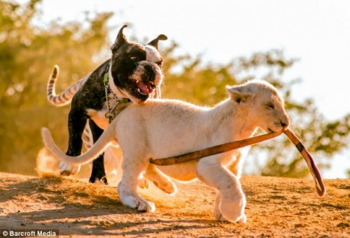 notizie animali, notizie divertenti, notizie strane, notizie commoventi, cani, bulldog francese, leoni, tigri del Bangala, cuccioli di leone, cuccioli di tigre