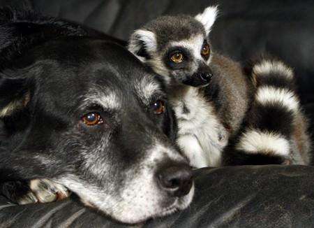 lemure_labrador2.jpg