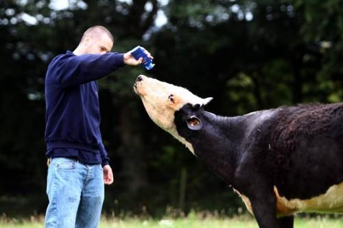 notizie animali, notizie divertenti, notizie strane, notizie commoventi, mucche, malattie della pelle delle mucche, mucche semi-calve. vitelli prematuri, creme solari ad alta protezione