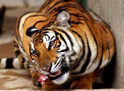 tigre_viagra2.jpg
