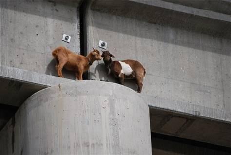 notizie animali, notizie divertenti, notizie strane, notizie commoventi, capre, ponti, capre salvate