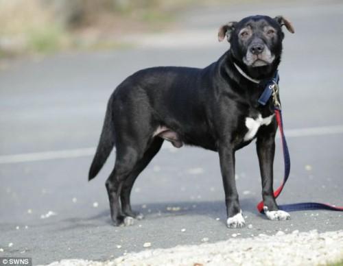 notizie animali, notizie divertenti, notizie strane, notizie commoventi, Staffordshire Bull Terrier, cane allergico, allergie dei cani