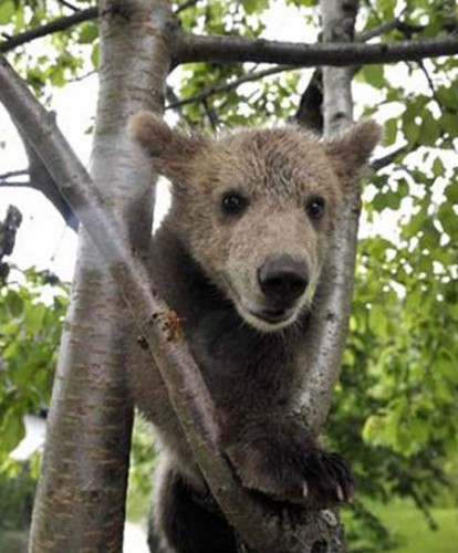 notizie animali, notizie divertenti, notizie strane, notizie commoventi, orsi, cuccioli d'orso, orsi adottati, adozione animali, riserve animali selvaggi