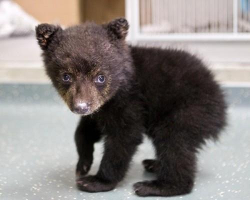 notizie animali, notizie divertenti, notizie strane, notizie commoventi, orsi, cuccioli di orso, cuccioli di orso orfani, orsetti