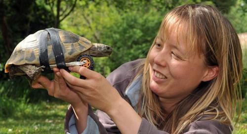 notizie animali,notizie divertenti,notizie strane,notizie commoventi,tartarughe,protesi per tartarughe,ruote per tartarughe