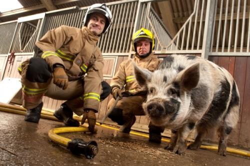 notizie animali, notizie divertenti, notizie strane, notizie commoventi, maiali, suini, vigili del guoco, pompieri, animali da salvare