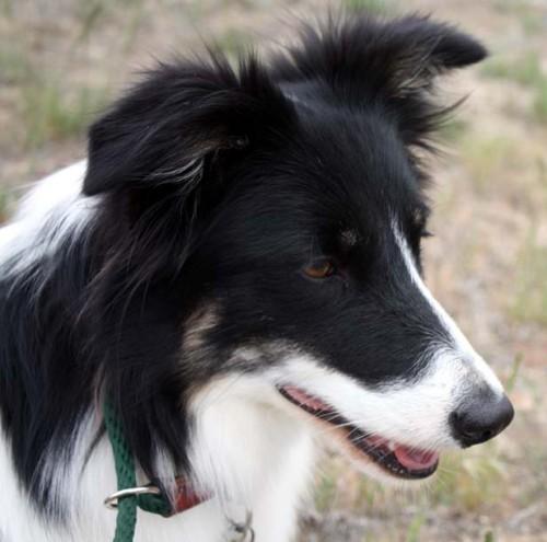 notizie animali, notizie divertenti, notizie strane, notizie commoventi, border collie, cani da pastore, peggior cane da pastore britannico