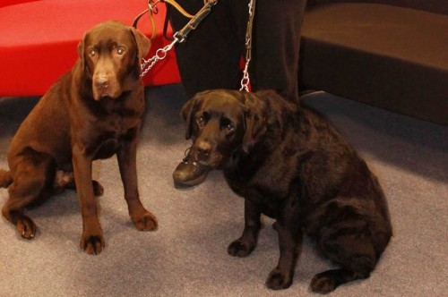 notizie animali, notizie divertenti, notizie strane, notizie commoventi, cani, labrador, banca del sangue per cani, cani donatori di sangue