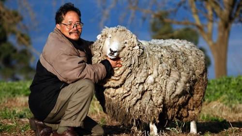 notizie animali, notizie divertenti, notizie strane, notizie commoventi, pecore, ovini, pecore domestiche, battaglie legali per animali, bestiame