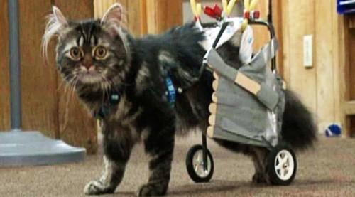 notizie animali, notizie divertenti, notizie strane, notizie commoventi, gatti, gatti paralizzati, gatti in carrozzella, carrozzella robotica