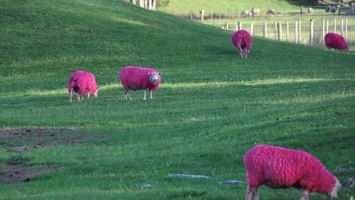 notizie animali, notizie divertenti, notizie strane, notizie commoventi, pecore, ovini, pecore colorate, SheepWorld, coloranti alimentari per animali