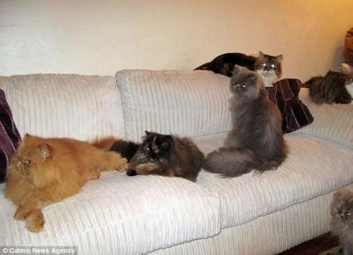 notizie animali, notizie divertenti, notizie strane, notizie commoventi, gatti, gatti persiani, dipendenza dai gatti