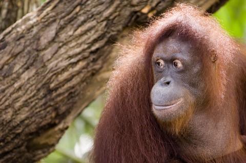 notizie animali,notizie divertenti,notizie strane,notizie   commoventi,scimmie,primati,orangotanghi,scimmie e libri