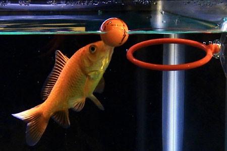 un pesce giocherellone...e intelligente - un sito da visitare dans animali...buffi 1532027642