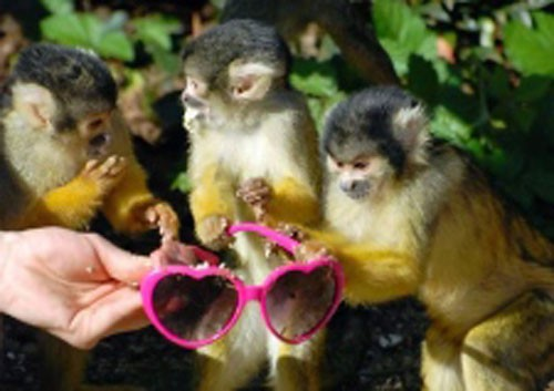 scimmie_occhiali3.jpg