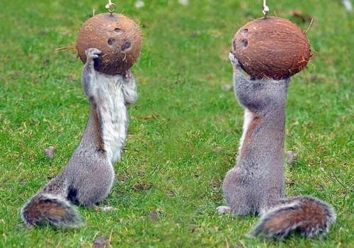scoiattoli_noci-di-cocco1.jpg
