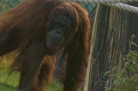 orangotango_foto2.jpg