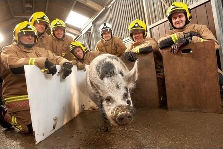 notizie animali,notizie divertenti,notizie strane,notizie commoventi,maiali,suini,vigili del guoco,pompieri,animali da salvare