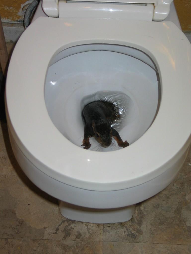 Uno scoiattolo è emerso dal W.C nel bagno di un appartamento | L ...