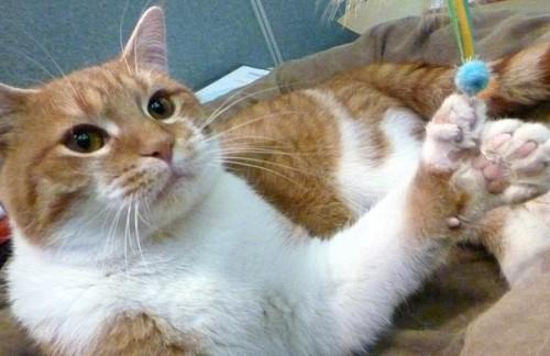 notizie animali, notizie divertenti, notizie strane, notizie commoventi, gatti randagi, gatti salvati, polidattilism felino, gatti polidattili