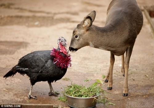 notizie animali, notizie divertenti, notizie strane, notizie commoventi, tacchini, cervi, amori tra animali, coppie di animali di specie diverse